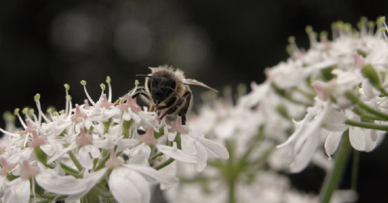 A bee l和s on some white flowers